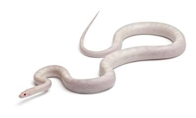 Opale Corn Snake or Red Rat Snake, Pantherophis guttatus
