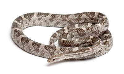 Lavender Corn Snake or Red Rat Snake, Pantherophis guttatus