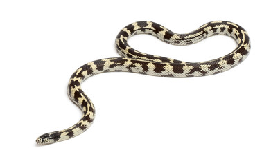 Common kingsnake, Lampropeltis getula californiae