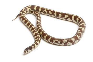 Banana eastern kingsnake or common kingsnake