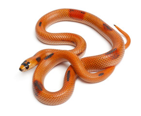 Tricolor Patternless Honduran milk snake