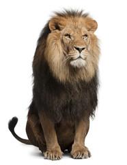 Foto auf Leinwand Löwe Lion, Panthera leo, 8 years old, sitting