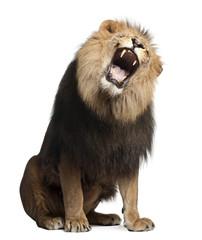 Foto auf Leinwand Löwe Lion, Panthera leo, 8 years old, roaring
