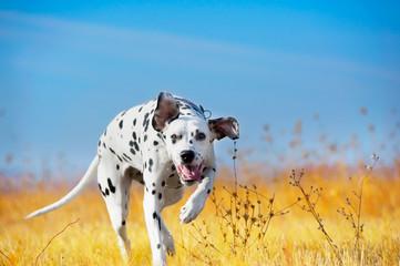 Beautiful Dalmatian dog