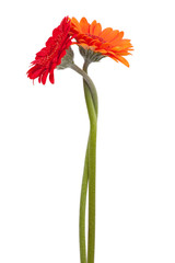 Fototapete - Two-colored gerbera, binding the each other