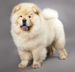 Chow chow (5 months) in front ofa grey background