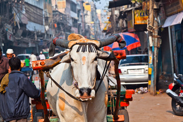 Photo sur Aluminium Delhi Ox cart transportation on early morning in Delhi, India