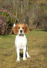 Beagle dog on green meadow