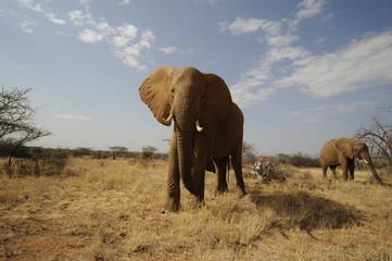 African elephant in the Masai Mara Park, Kenya