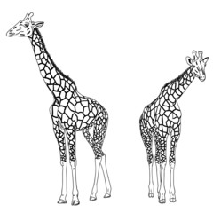 Two giraffes. Vector illustration.