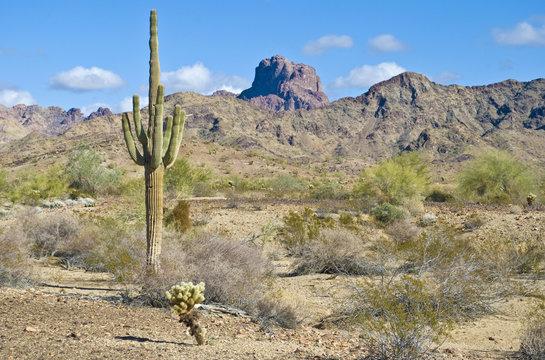 Arizona desert with Saguaro