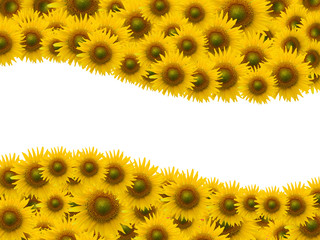 Many sunflower on white space background