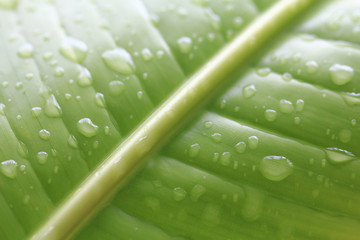 Green banana leaf with a splash of water