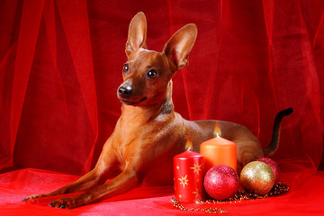 Christmas theme. Miniature Pinscher on a red background