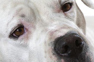 portrait du dogue argentin en très gros plan