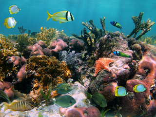 Foto op Plexiglas Onder water Colorful marine life in a coral reef with tropical fish and a starfish, Caribbean sea