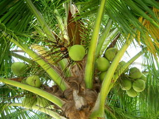 Coconut tree in Thailand.