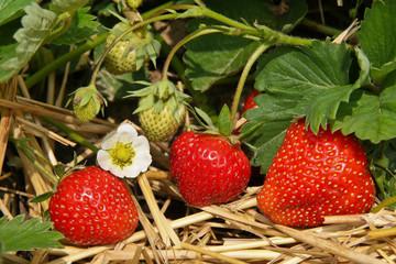 Strawberrys in the garden