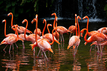 Wall Mural - American Flamingo (Phoenicopterus ruber), Orange flamingo
