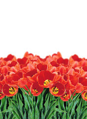 Field of Red Tulips over White