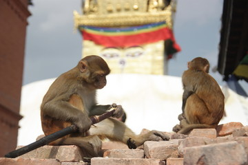 Swayambhunath stupa, Kathmandu, monkey, sugarcane, animals