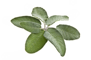 green leaves of sage