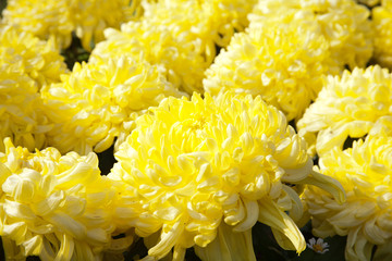 Chrysanthemum big yellow
