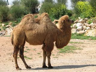 Camel. Zoo.Greece