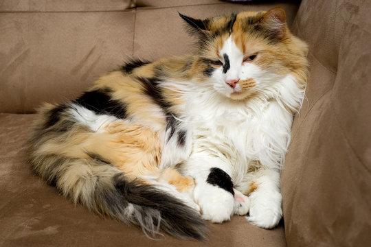 Calico Cat Half Asleep