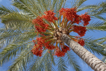 detail of dates on palm tree