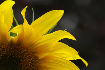 Sunflower on a black background