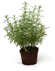 growing rosemary