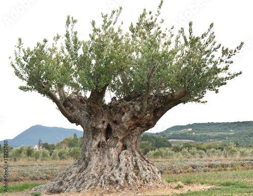 Olivier centenaire photo libre de droits sur la banque d 39 imag - Quand tailler olivier ...