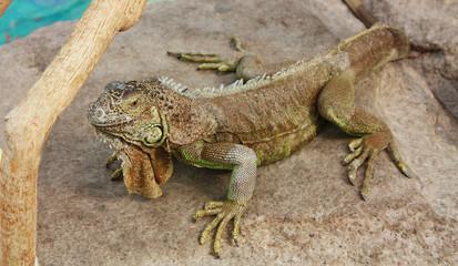 Iguana on a gray stone