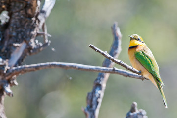 Little african bee eater