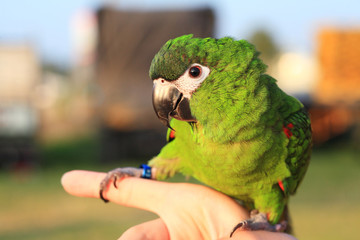 parrot  close up.