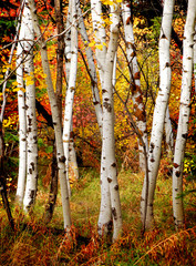 Aluminium Prints Birch Grove Fall Birch Trees