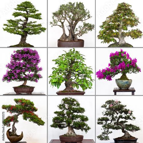 kollektion bonsai b ume stockfotos und lizenzfreie. Black Bedroom Furniture Sets. Home Design Ideas