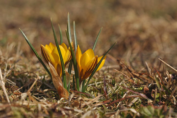 Yellow spring crocus in blossom