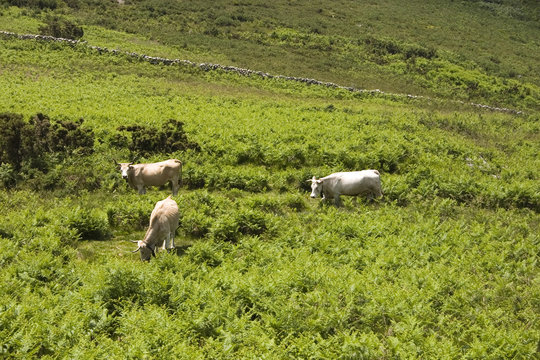 Vacas a pastar / Cows on the field