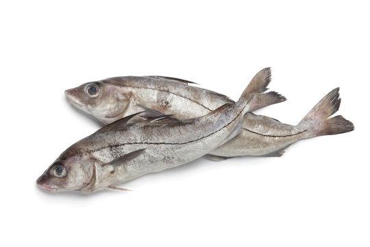 Fresh raw haddock fished