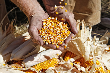 Farmer's Hands Catching and Holding Corn