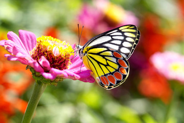 Beautiful butterfly on a  pink flower