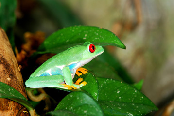 Fototapete - red-eye frog in natural environment