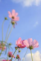 Pink daisy flowers.