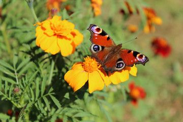 Bright peacock butterfly on orange marigold