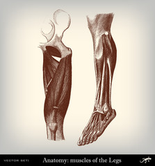 Engraving vintage muscolar system.