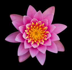 Pink lotus on a black background.