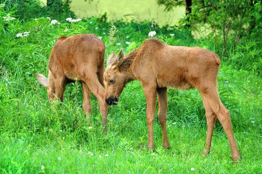 Two baby elk