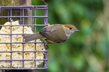 Female Blackcap on feeder